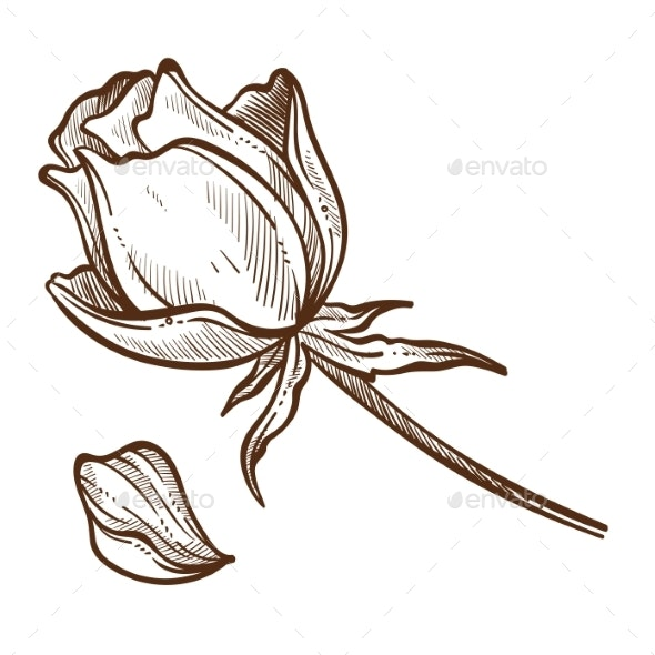 Flower Rose Plants Isolated Sketch Bud and Petal - Flowers & Plants Nature