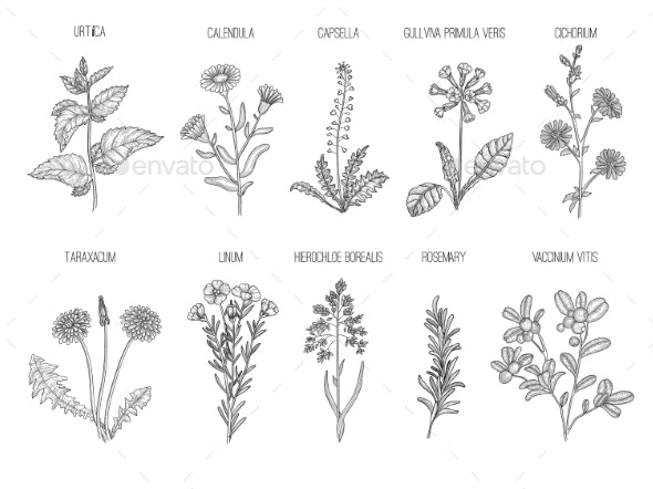 Medical Herbs. Herbal Floral Collection Healthy - Organic Objects Objects