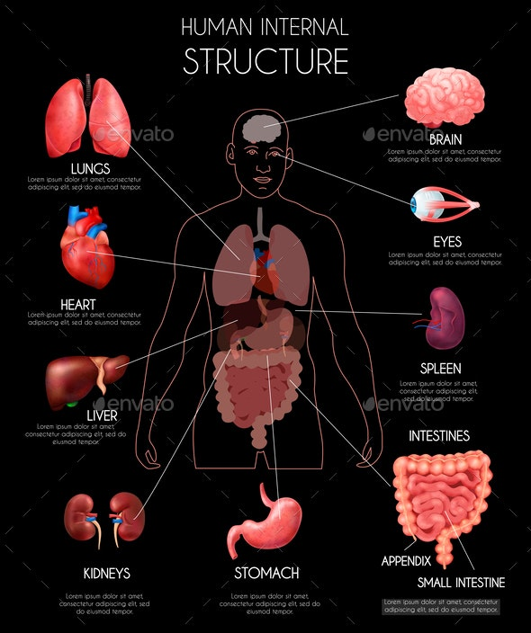 Realistic Human Internal Organs Infographics - Miscellaneous Vectors