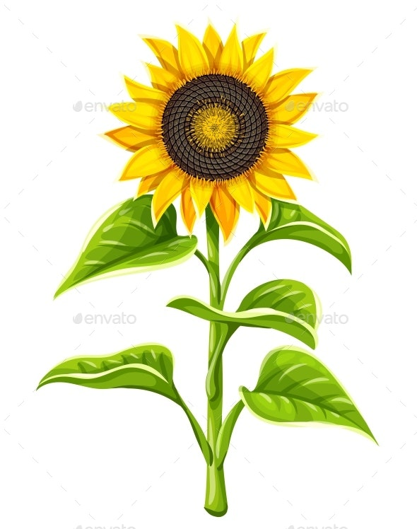 Sunflower Agricultural Plant Head with Oil Seeds