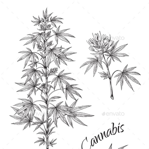 Hand Drawn Cannabis Linear Sketch of Marijuana