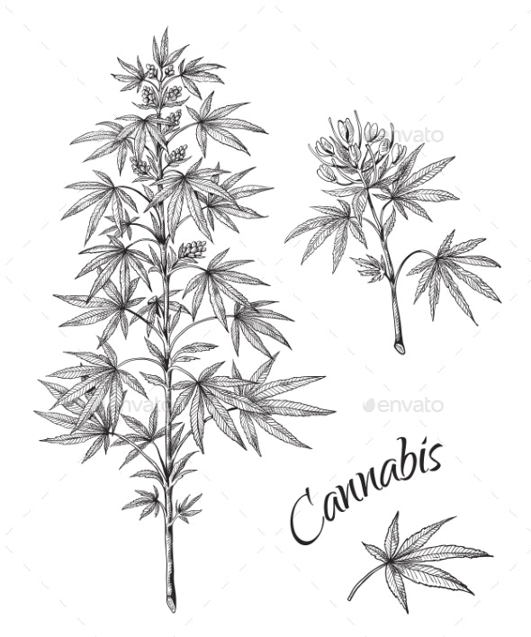 Hand Drawn Cannabis Linear Sketch of Marijuana - Flowers & Plants Nature