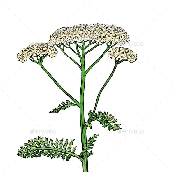 Yarrow Milfoil Flower Medicinal Plant - Flowers & Plants Nature