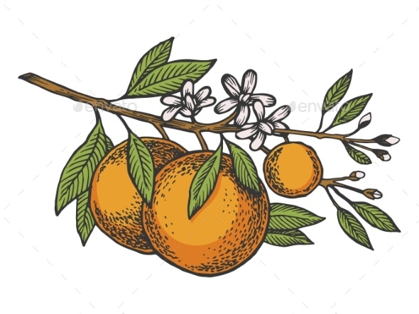 Orange Tree Branch Color Sketch Engraving Vector - Food Objects