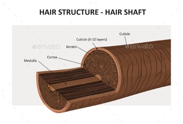 Hair Structure - Vector Illustration - Health/Medicine Conceptual