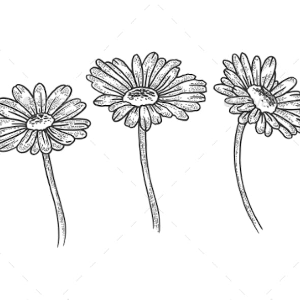 Chamomile Daisy Flower Sketch Engraving Vector