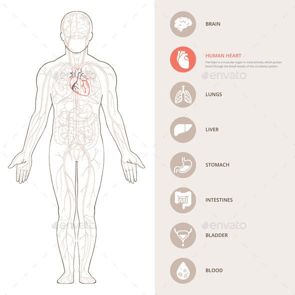 Human Body Anatomy Infographic of the Structure