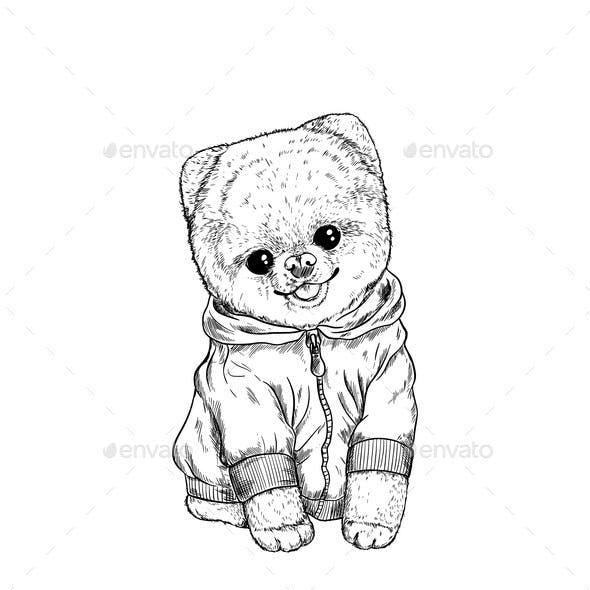 Pomeranian Toy Dog Dressed in Hoodie