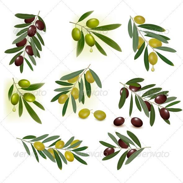 Set of green and black olives. Vector illustration