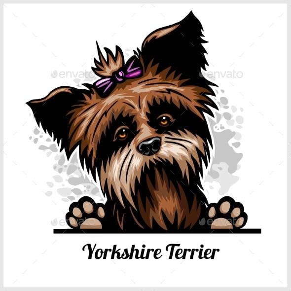 Yorkshire Terrier - Peeking Dogs