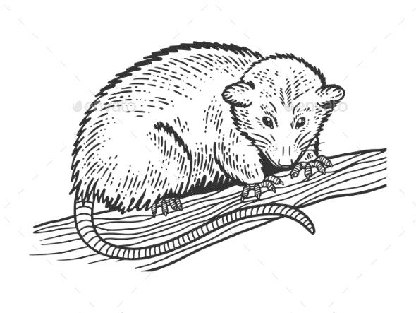 Opossum Sketch Vector Illustration - Animals Characters