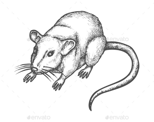 Sketch Mouse, Hand Drawn Wild Rat Rodent Animal - Animals Characters