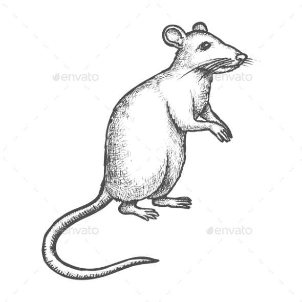 Sketch Mouse, Rat on Rear Paws, Hand Drawn Rodent - Animals Characters