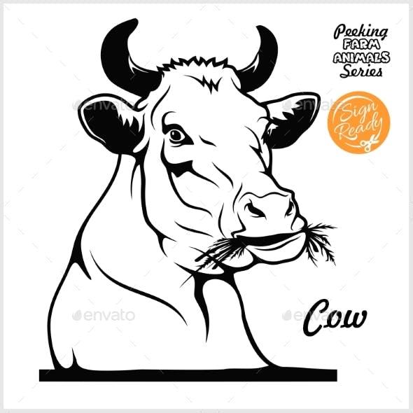 Peeking Cow Chews Hay