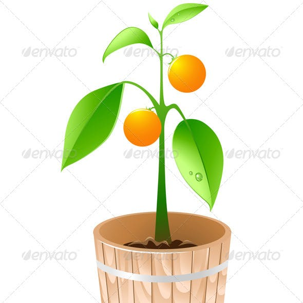 Orange Tree in a Wooden Tub