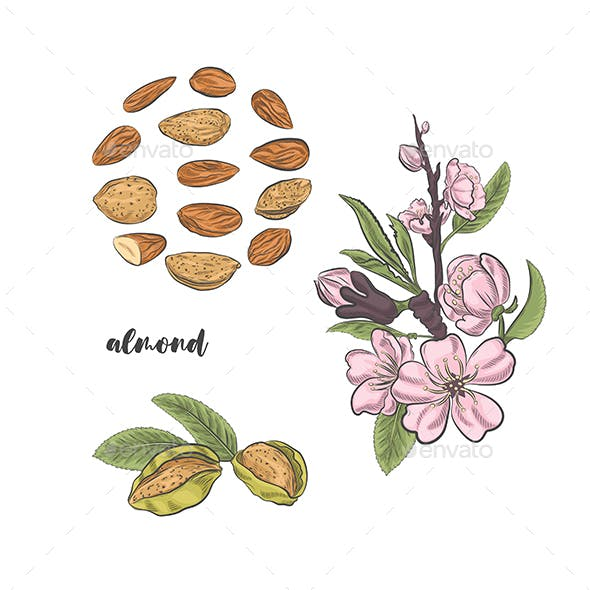 Almonds Blossoms on Branch and Fruits Vector Sketch