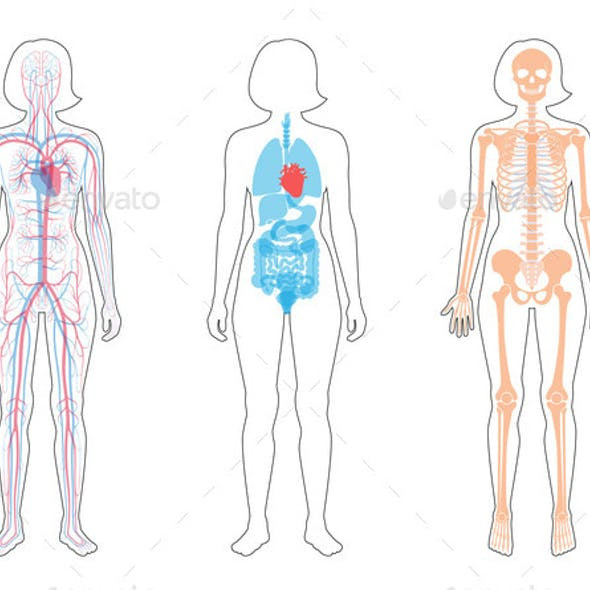 Internal Structure of Woman Body