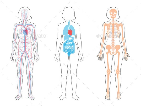 Internal Structure of Woman Body - Organic Objects Objects