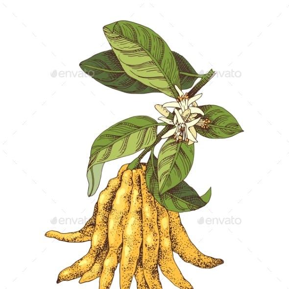 Hand Drawn Buddha s Fingers Citron Branch