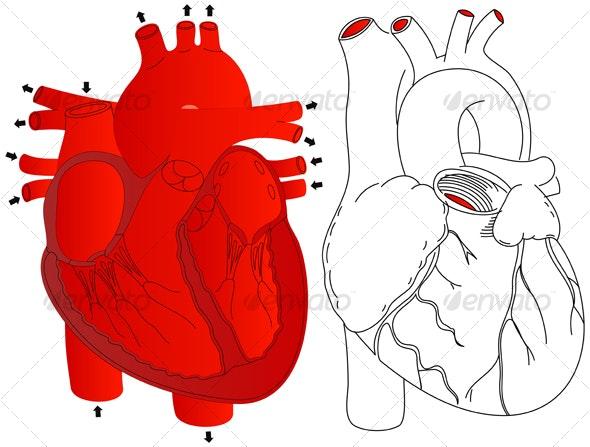 Human Heart - Health/Medicine Conceptual