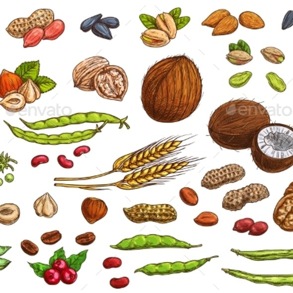 Nuts, Cereal Crop and Legumes Sketches