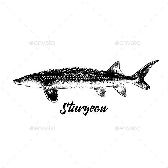 Hand Drawn Sketch of Sturgeon Fish - Animals Characters