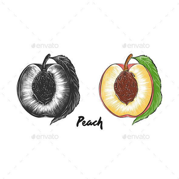 Hand Drawn Sketch of Peach - Food Objects