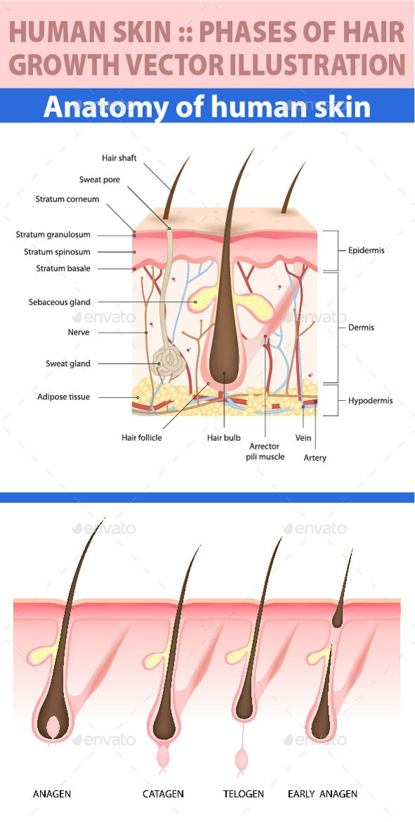 Skin Structure and Hair Follicle Growth Stages - Health/Medicine Conceptual
