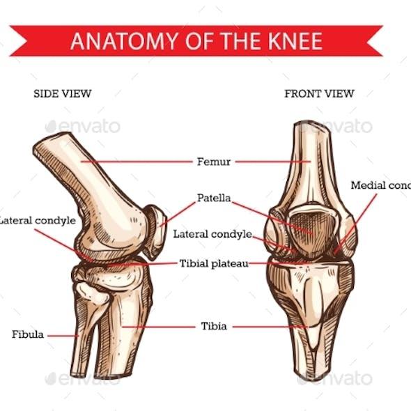 Knee Bones and Joint, Vector Sketch Human Anatomy