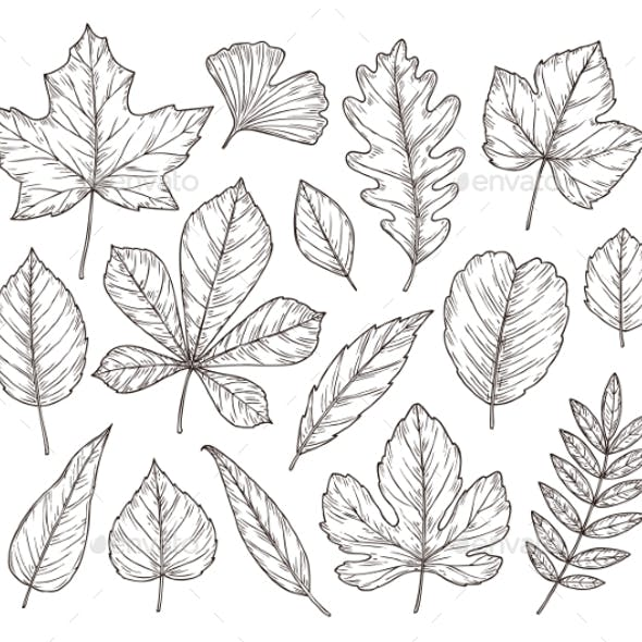 Sketch Autumn Leaves. Fall Leaf, Hand Drawn