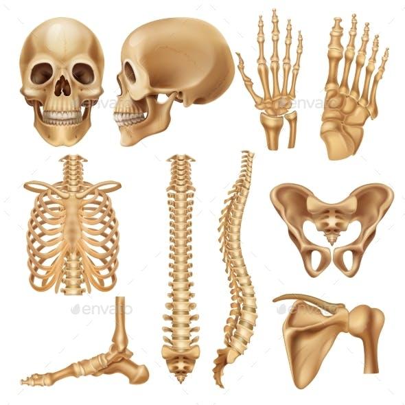 Human Bones Realistic Skeleton Elements
