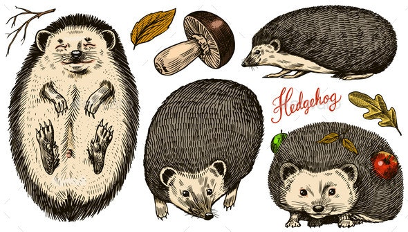 Hedgehog Set. Spiny Forest Animal. Vector Engraved - Animals Characters