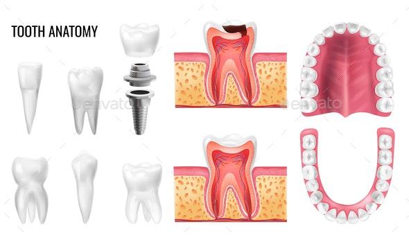 Tooth Anatomy Set - Miscellaneous Vectors