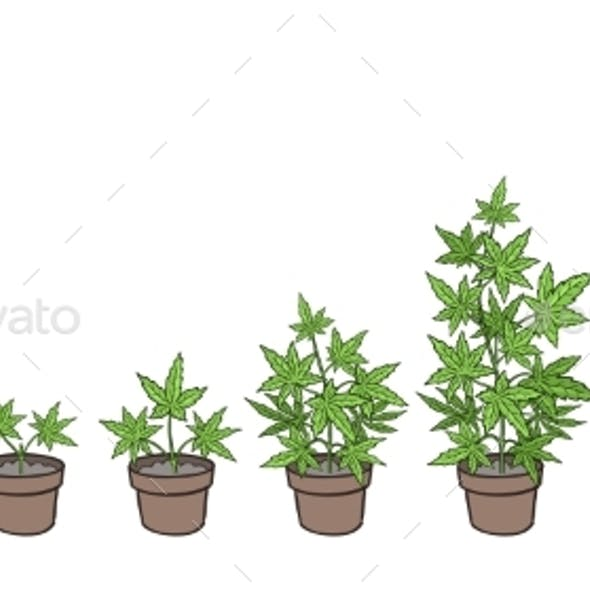 Hemp Potted Growth Stages Plants Development