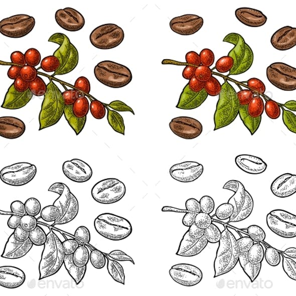 Coffee Branch with Leaf, Berry and Beans