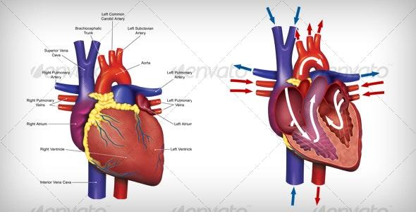 Human Heart Anatomy - Miscellaneous Print Templates