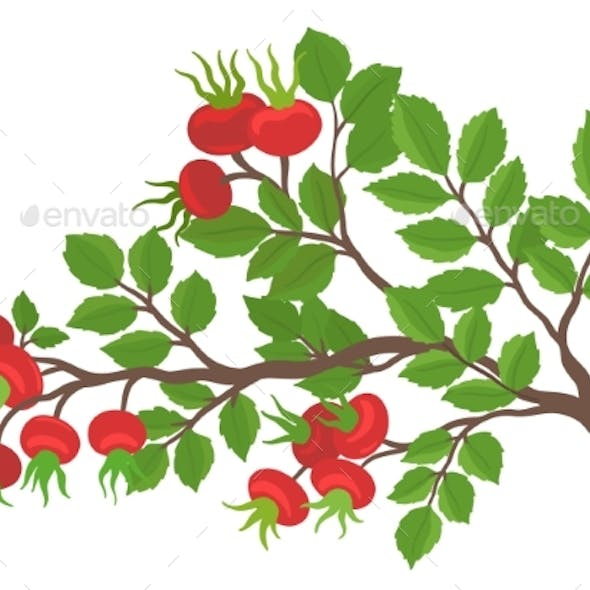 A Branch of Wild Rose Hip Ripe Plant Rosehip