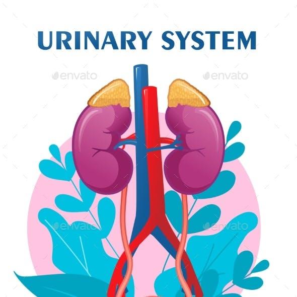 Human Urinary System Schematic Illustration