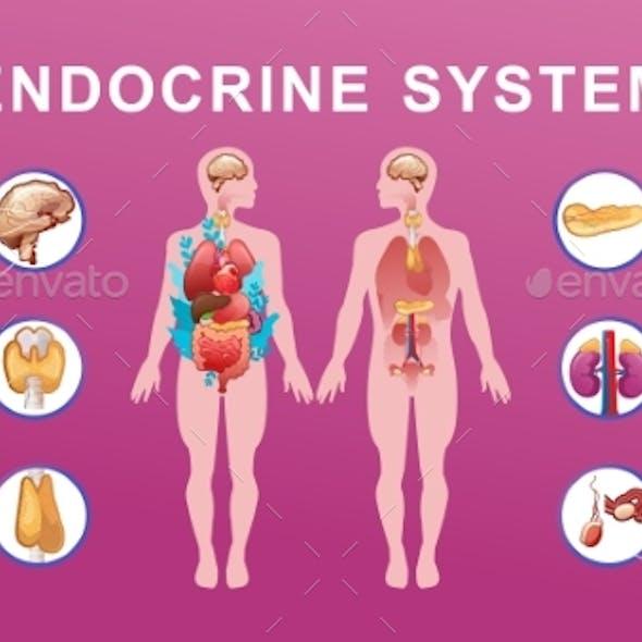 Human Endocrine System Vector Illustration