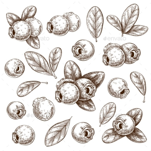 Hand Drawn Ink Blueberries with Leaves Isolated - Flowers & Plants Nature
