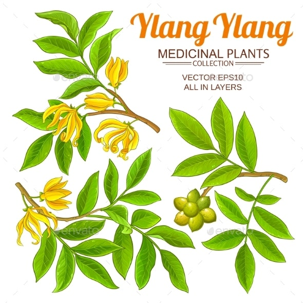 Ylang Ylang Vector Set - Flowers & Plants Nature