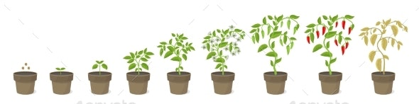 Growth Stages of Spicy Chili Pepper Houseplant in - Flowers & Plants Nature