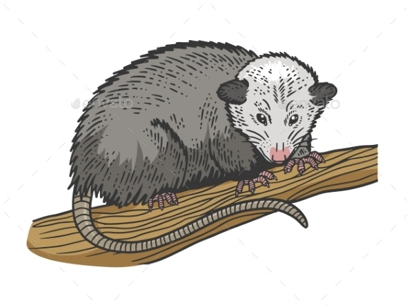Opossum Sketch Vector Illustration - Animals Characters