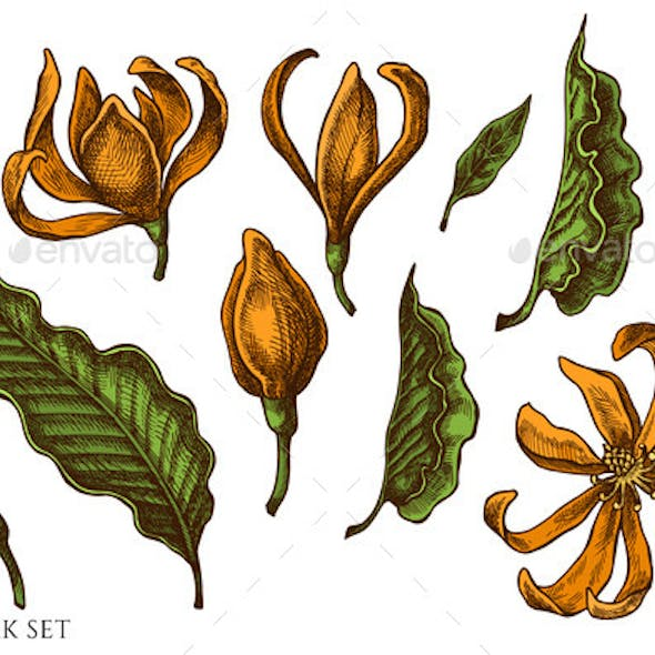 Vector Set of Hand Drawn Colored Champak