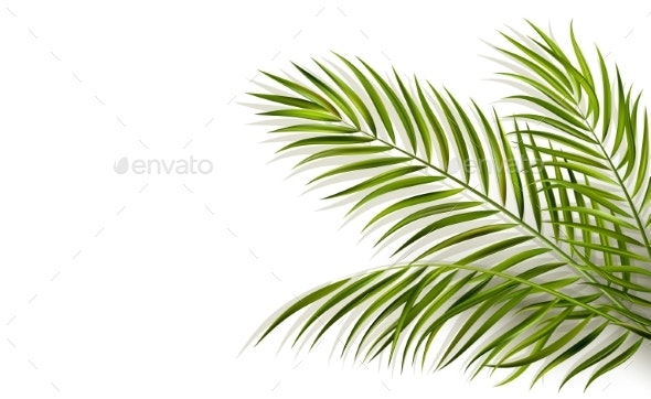 Green Leaf of Palm Tree on White Background - Miscellaneous Vectors