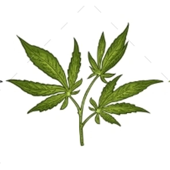 Marijuana Branch with Leaf
