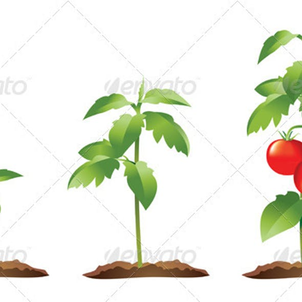 Tomato Plant Growth Stages