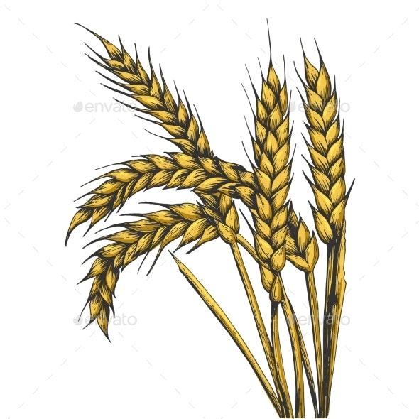 Wheat Ear Spikelet Line Art Sketch Vector - Food Objects