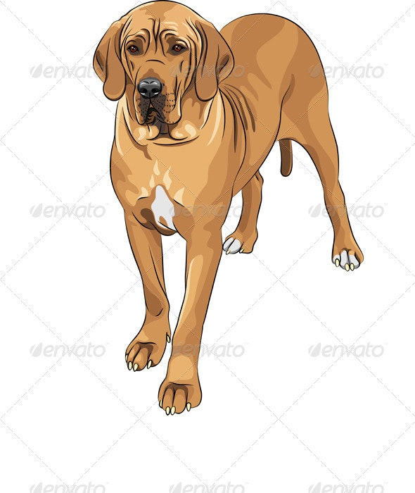 Domestic dog fawn Great Dane breed - Animals Characters