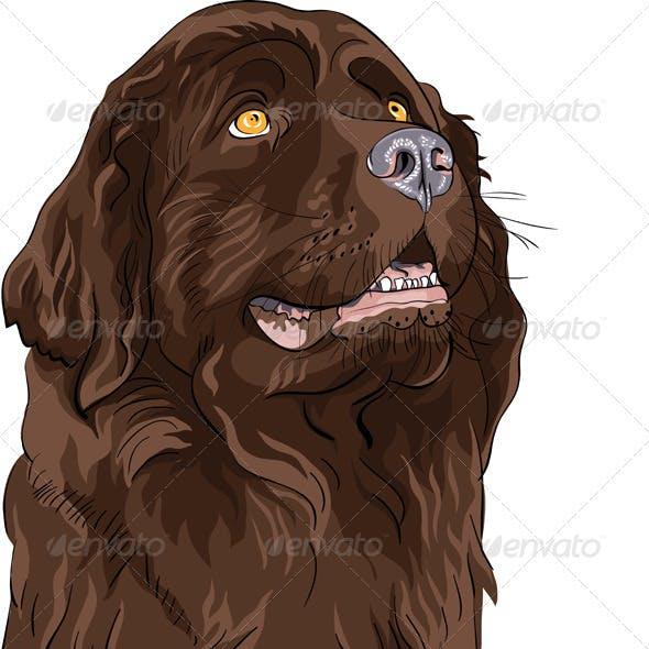 Vector Sketch Dog Newfoundland Hound Breed